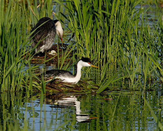 Western Grebes on nests with egg