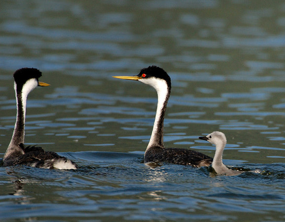 Western Grebes with chick