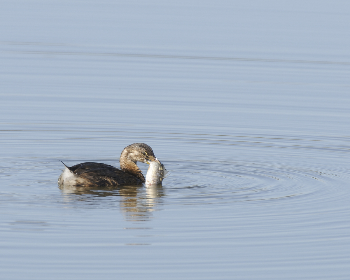 Pied-billed Grebe (8)