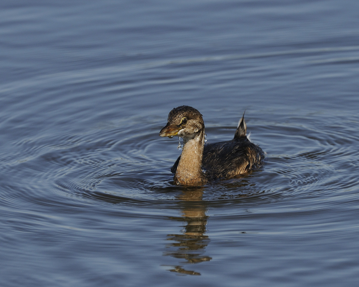Pied-billed Grebe (4)