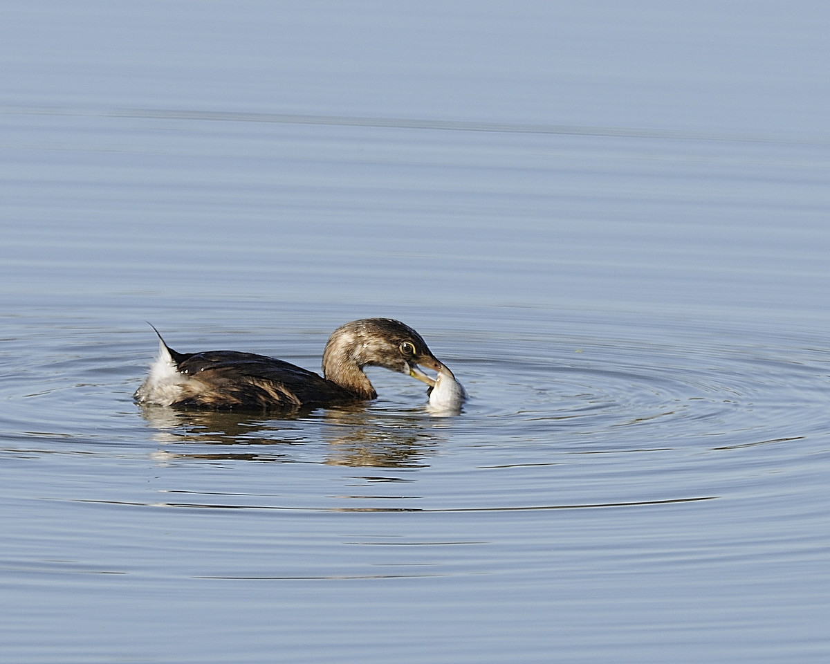 Pied-billed Grebe (7)