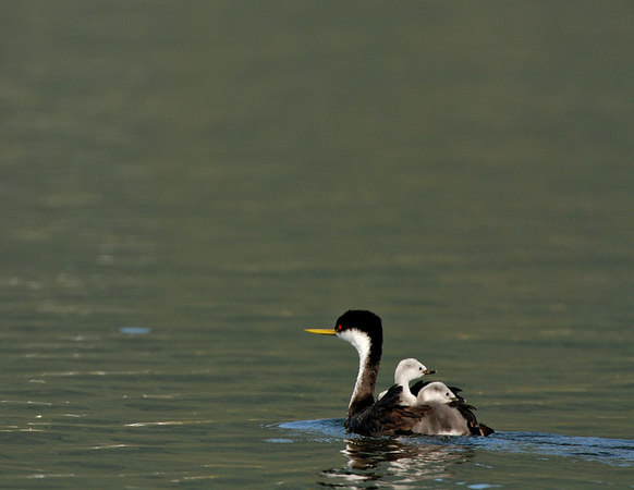 Western Grebes with young