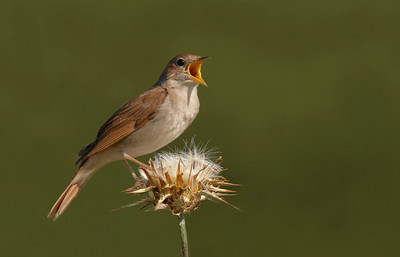 Nightingale in full song