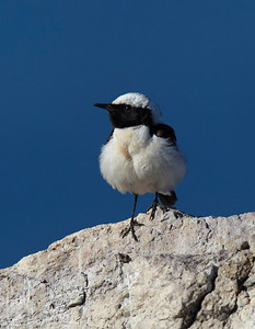 Black eared wheatear