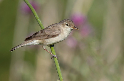 Olivacious warbler