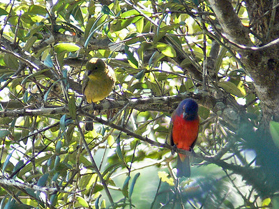 Painted Buntings (♀ on left, ♂ on right)