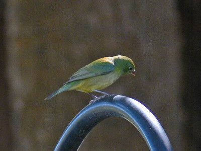 Painted Bunting (♀)
