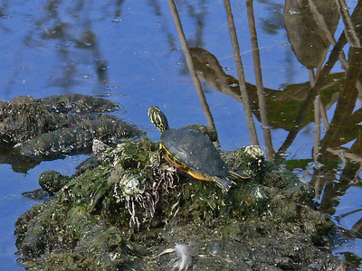 "Red-eared Slider (5"")"