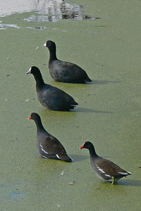 Something got their attention!  American Coots (white beak) and Common Moorhens (red beak)