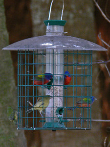 Painted Buntings (immature & mature ♂)