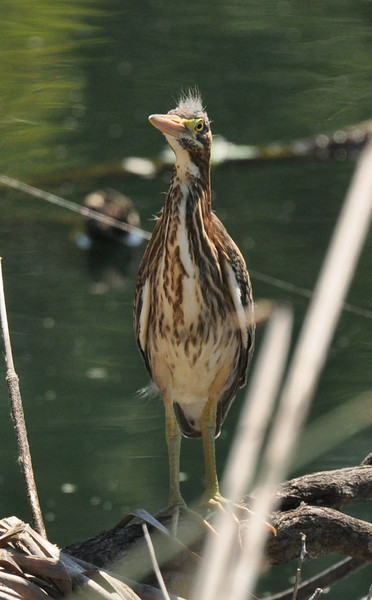 One of the green heron chicks standing on a willow limb at the edge of the lake.
