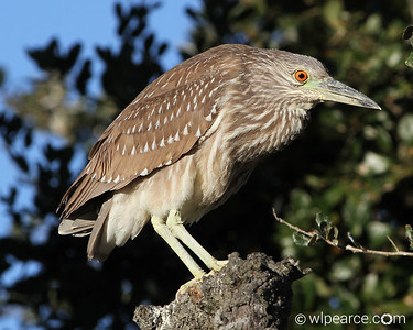 A juvenile Yellow Crowned Night Heron.