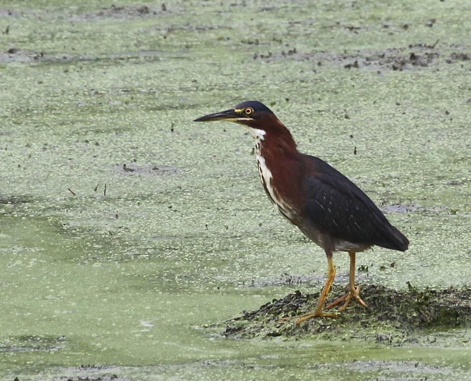 Green Heron<br /> Mississippi River slough south of LaCrosse