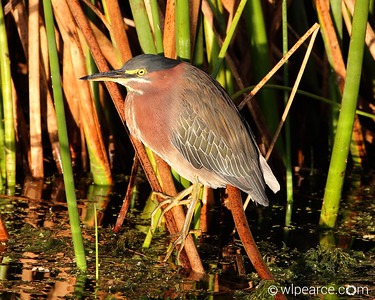 A Green Heron in the dawn light at Viera Wetlands, Viera, FL