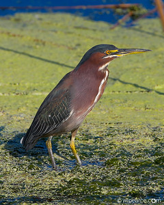 Green Heron, Viera Wetlands.  2017.  A five frame HDR.