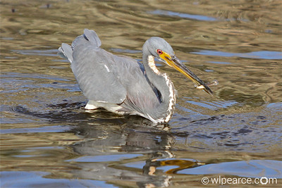 Tricolor Heron fishing.  Pottsburg Creek.