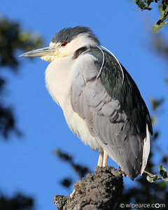 A mature Black Crowned Night Heron with nice tassles.