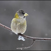 Female evening grosbeak
