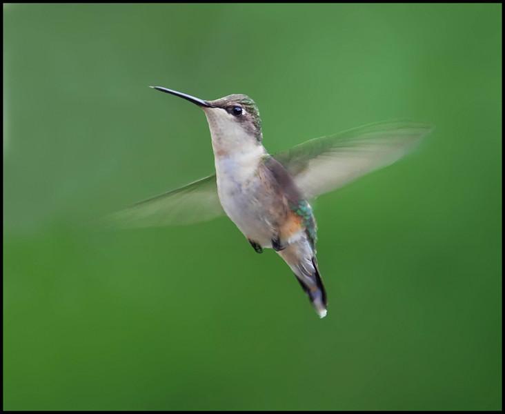 Ruby-throated Hummingbird  (f)