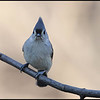 Tufted- titmouse