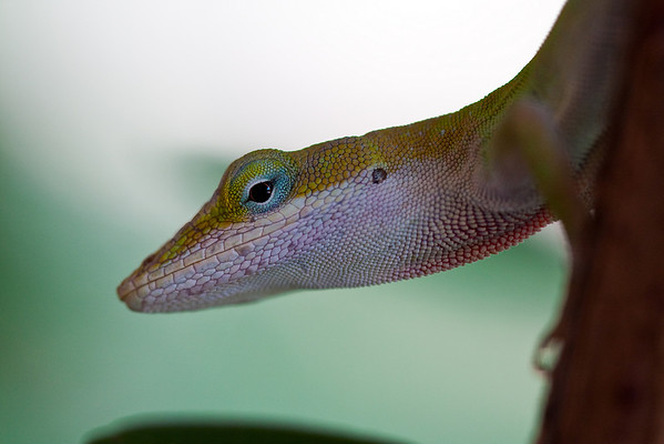 green anole - Aug 22, 2009