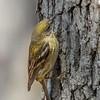 Pine warbler (female) - Greenbrook, NJ, Apr 2018