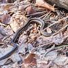 Eastern garter snake - Apr 2018