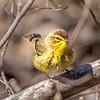 Palm warbler - Apr 2018