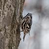 Black-and-white warbler - Greenbrook, NJ, Apr 2018