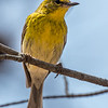 Pine warbler (male) - Greenbrook, NJ, Apr 2018