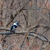 Belted kingfisher, Apr 2018