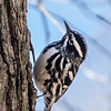 Black-and-white warbler - Apr 2018