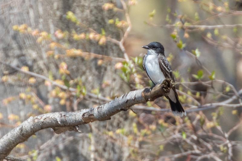 Eastern Kingbird - Apr 2018