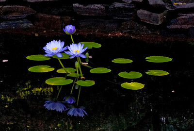 Lotus - Duke Gardens - Durham North Carolina --
