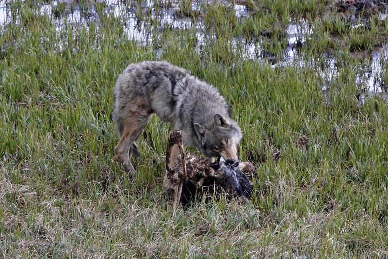 Grey Wolf with a Buffalo Head.<br /> Hayden Valley,Yellowstone Nat'l Park,Wyoming