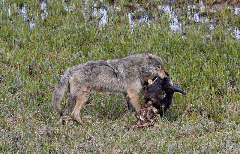 "Yep.. ""That's what it is""<br /> Grey Wolf with a Buffalo Head<br /> Hayden Valley ,Yellowstone Nat'l Park ,Wyoming..series"