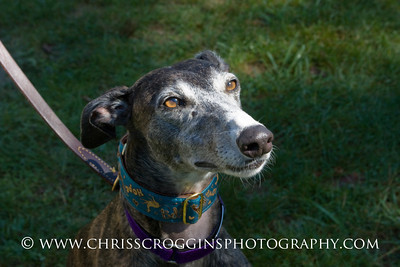 Marigot, Retired Racing Greyhound