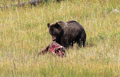 Grizzly Bear in Yellowstone - Aug 2011