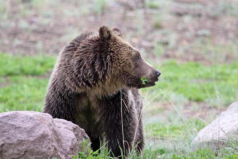 Young Grizzly Bear.<br /> Fishing Bridge..Yellowstone Nat'l Park,Wyoming