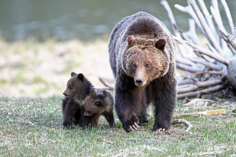 Grizzly Sow with her two cubs.<br /> Twin Lake Area.<br /> Yellowstone Nat'l Park,Wyoming