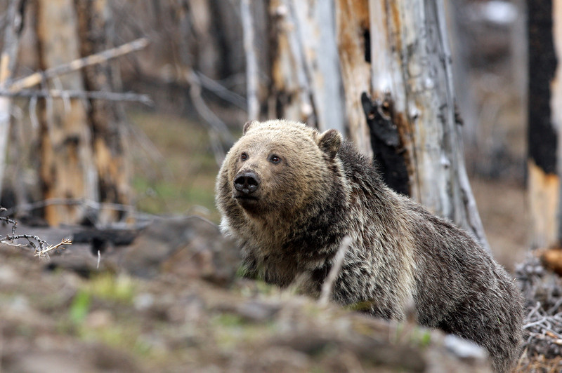 Grizzly Bear.<br /> Sylvan Pass..Yellowstone Nat'l Park,Wyoming