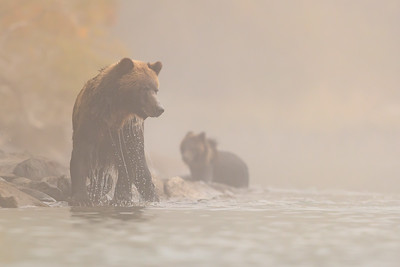 Grizzlies In the Mist