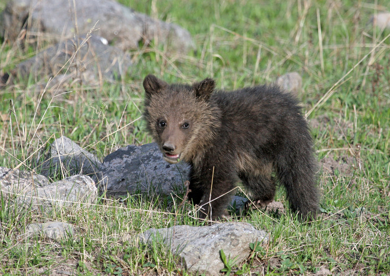 Grizzly Cub.<br /> Lake Area..Yellowstone Nat'l Park,Wyoming