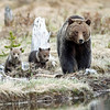 Grizzly Sow and her cubs<br /> Twin Lakes..Yellowstone Nat'l Park,Wyoming