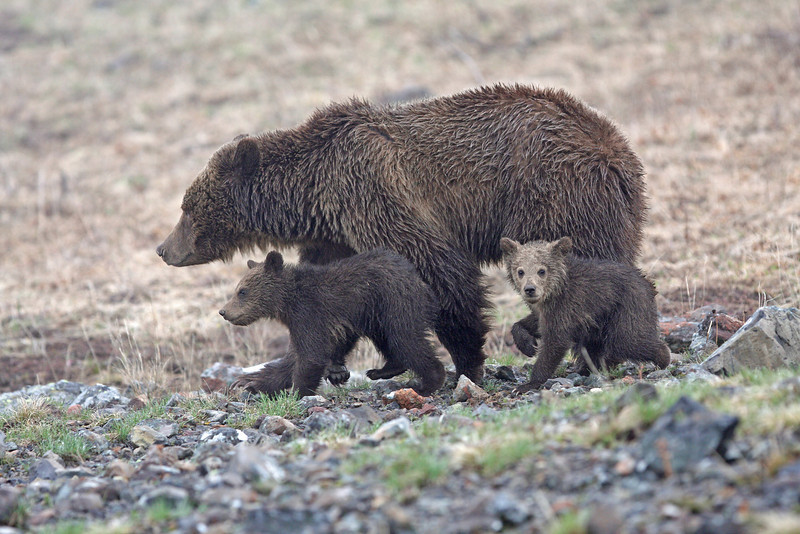 Grizzly Sow and her cubs.<br /> Dunraven Pass..Yellowstone Nat'l Park