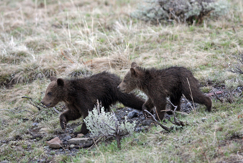 Grizzly Cubs.<br /> Dunraven Pass...Yellowstone Nat'l Park,Wyoming