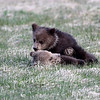 Grizzly Cubs.<br /> Twin Lakes,Yellowstone Nat'l Park,Wyoming
