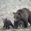 Grizzly Sow with her cubs.<br /> Dunraven Pass..Yellowstone Nat'l Park,Wyoming