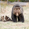 Grizzly Sow with her two cubs<br /> Twin Lakes Area<br /> Yellowstone Nat'l Park,Wyoming