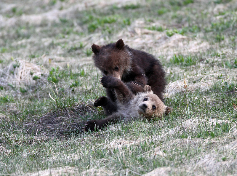 Grizzly Cubs playing<br /> Twin Lakes..Yellowstone Nat'l Park,Wyoming